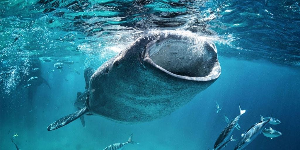 Zwemmen met de walvishaaien