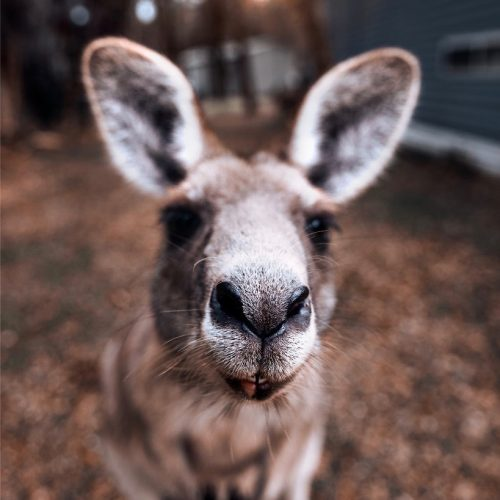 Kangoeroes spotten op Kangaroo Island in Australië