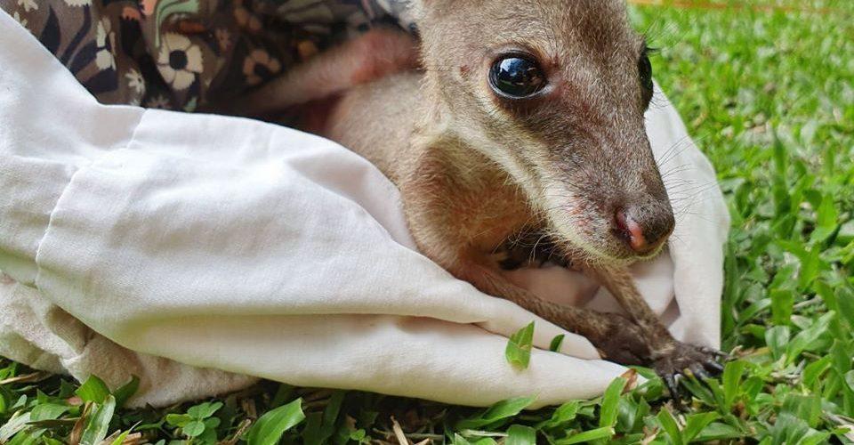 Baby kangoeroe in kunstmatige buidel in het Wildlife Habitat
