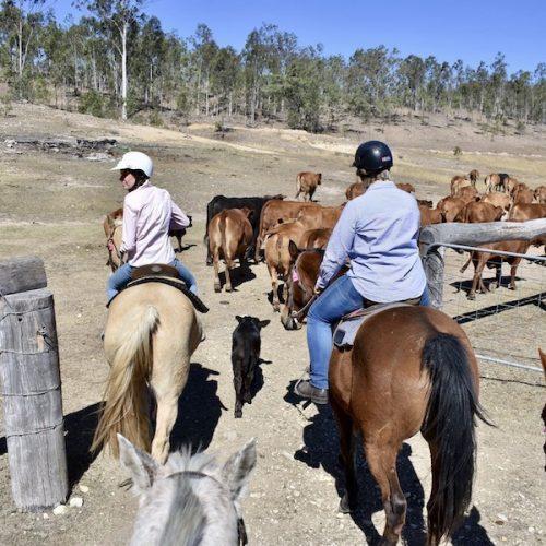 De kudde bij elkaar houden met de paarden
