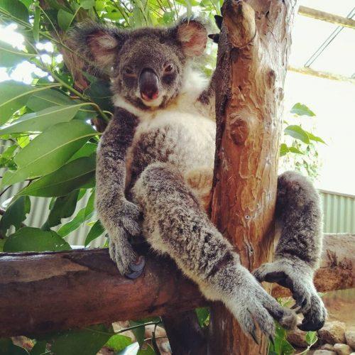 Koala chillen in de boom