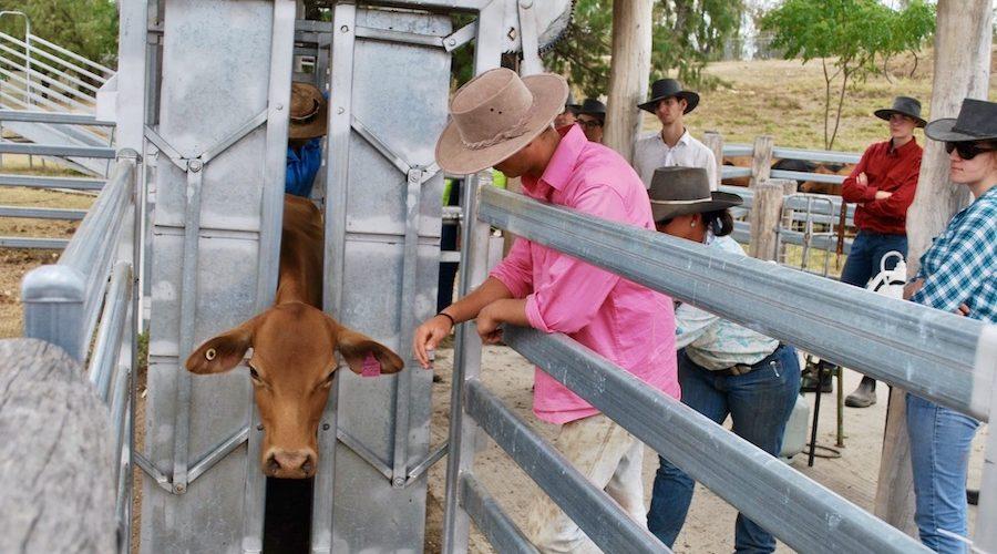 Koeien op de boerderij in Australie