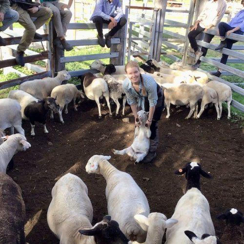 Schapen scheren op de boerderij in Australie