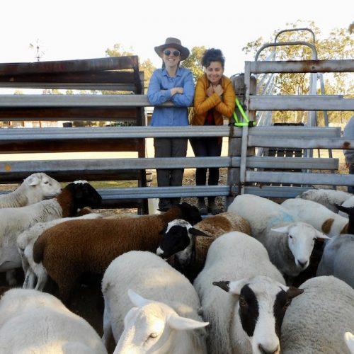 Schapen verzorgen op de boerderij in Australie