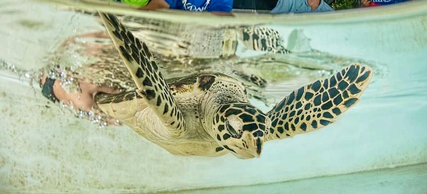 Schildpad door vrijwiligers te water gelaten