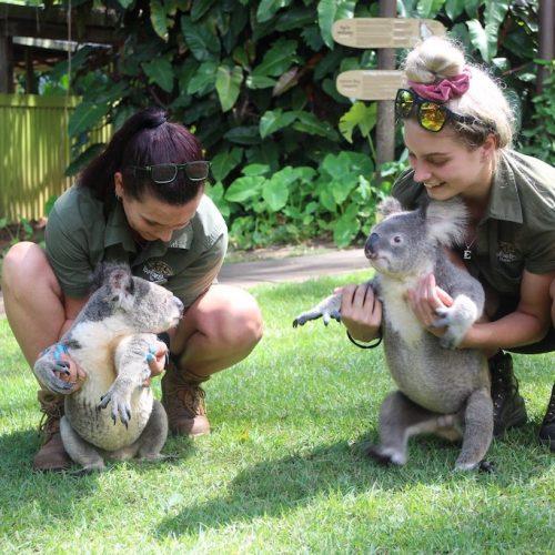 Tijdens je tussenjaar in Australie vrijwilligerswerk doen met koala's