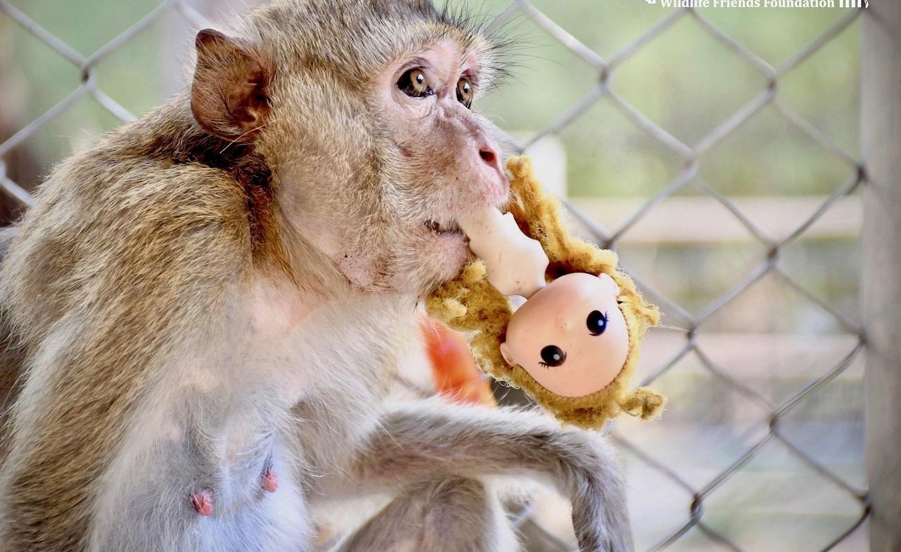 Aap zoek troost bij een pop
