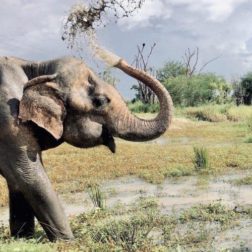 Als vrijwilliger de olifanten helpen in Thailand
