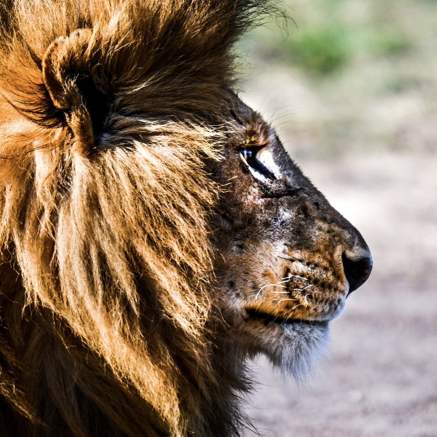 1 van de Big Cats - leeuwen in het Masai Mara National Reserve