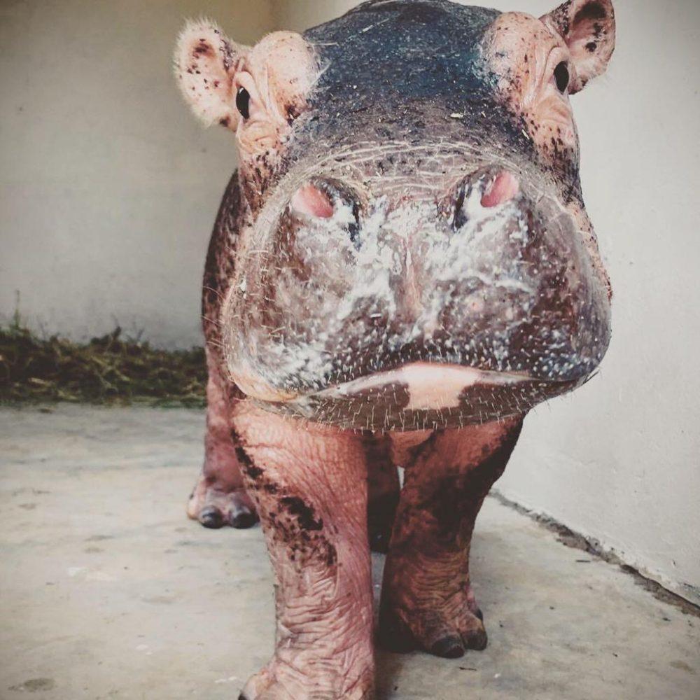 Tijdens het Wildlife Rescue Project een baby nijlpaardje in Zuid-Afrika verzorgen