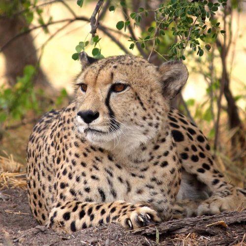 Gewonde cheeta in het opvangcentrum van Zuid-Afrika