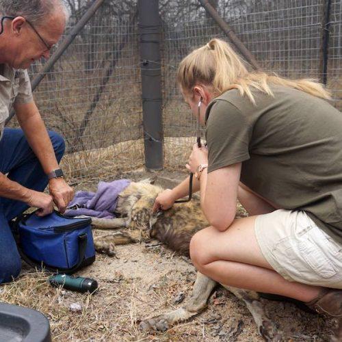 Gewonde dieren in Zuid-Afrika verzorgen