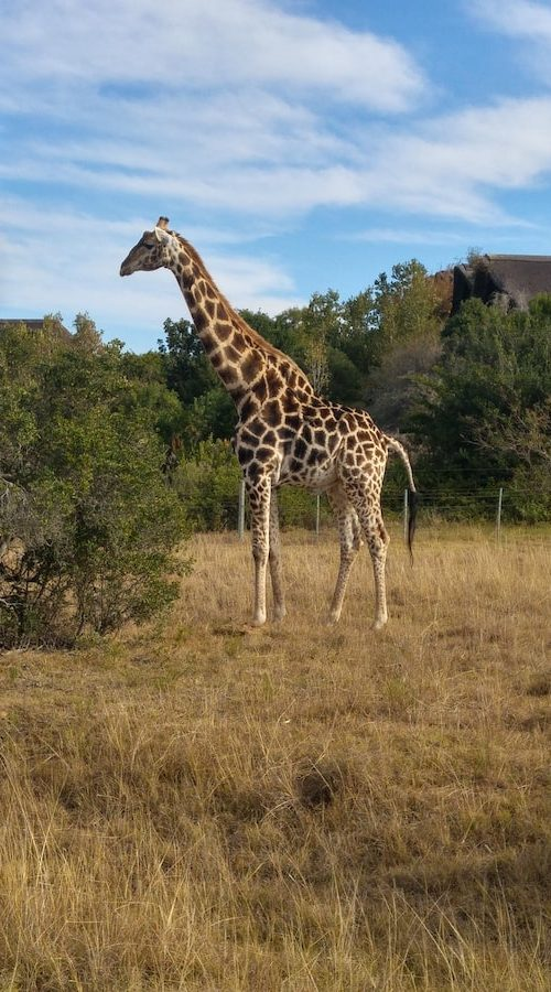 Giraf van dichtbij in het reservaat
