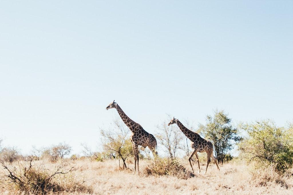 Giraffen in het Kruger National Park van Zuid-Afrika