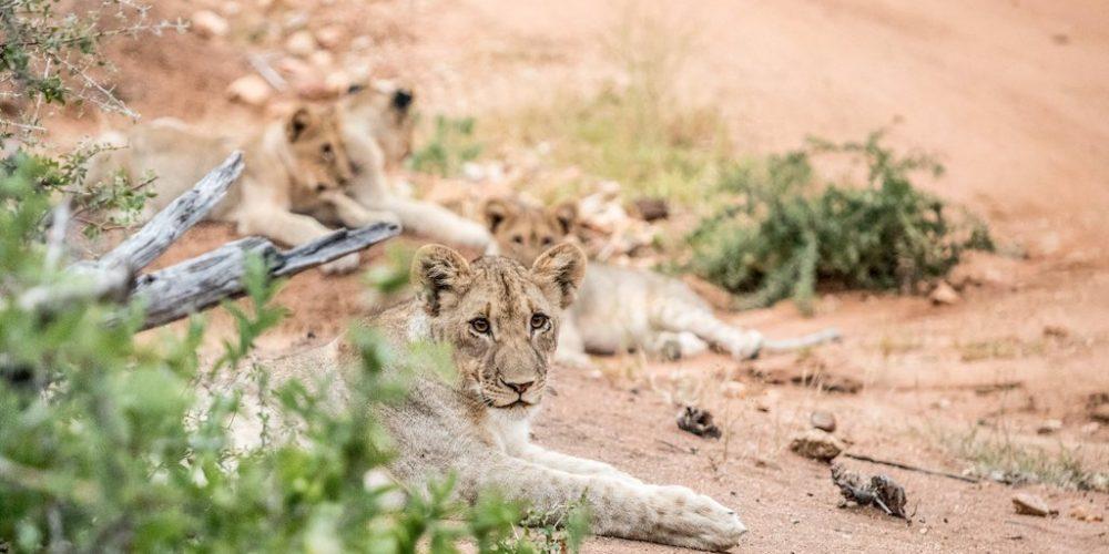 Leeuwen fotograferen in Zuid-Afrika