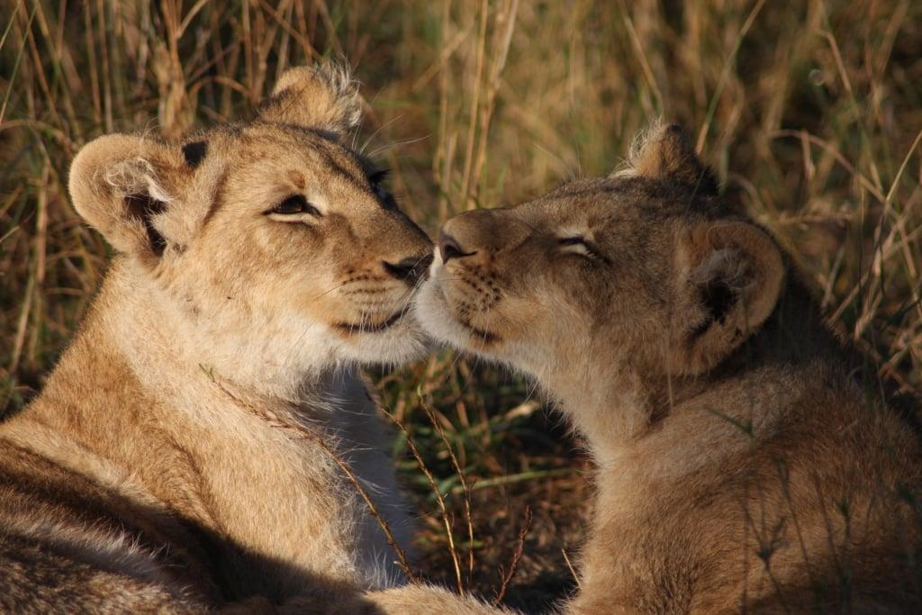 Big Cats vrijwilligerswerk project - Leeuwen spotten in Kenia