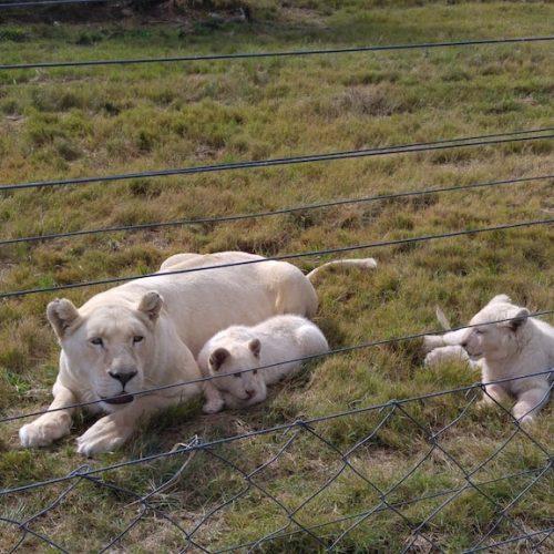Leeuwin met welpen in Zuid-Afrika