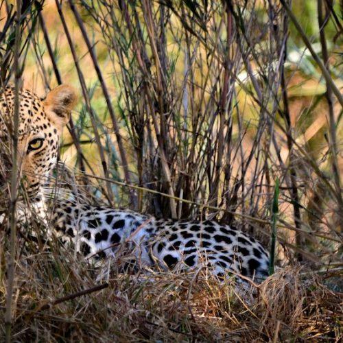 Luipaard in de schaduw