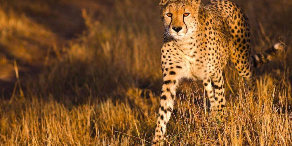 Monitor de cheeta's in Kenia