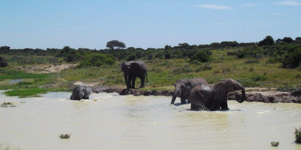 Olifanten in hun natuurlijk leefomgeving