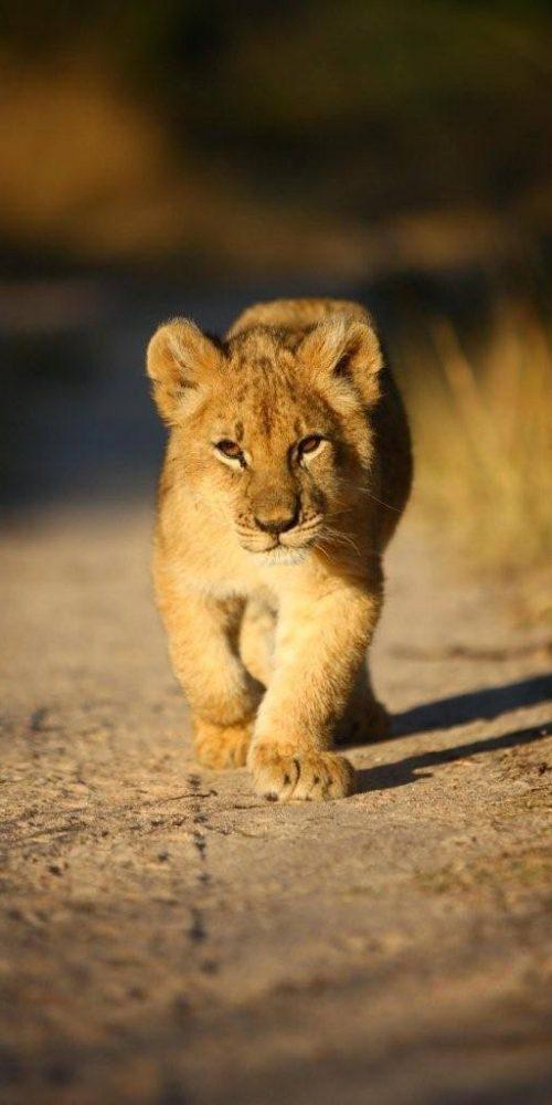 Onderzoek het leefgebied van de Big Cats in Afrika