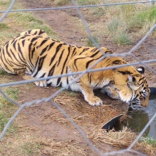 Tijger in opvang in Zuid-Afrika