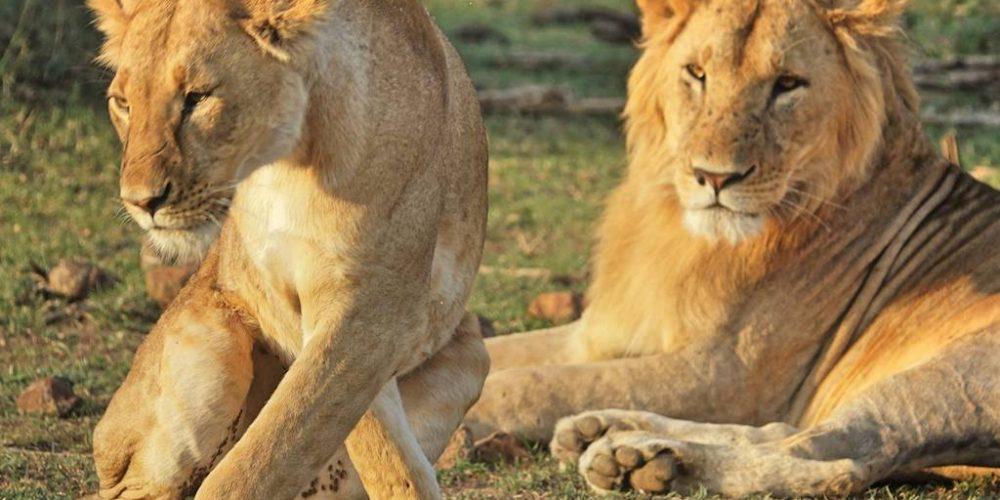 Vrijwilligerswerk project Big Cats - bescherm de leeuwen in Afrika