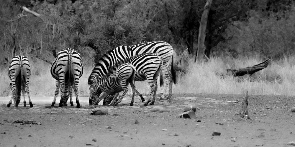 Zebra's met zwart witte strepen in Zuid-Afrika