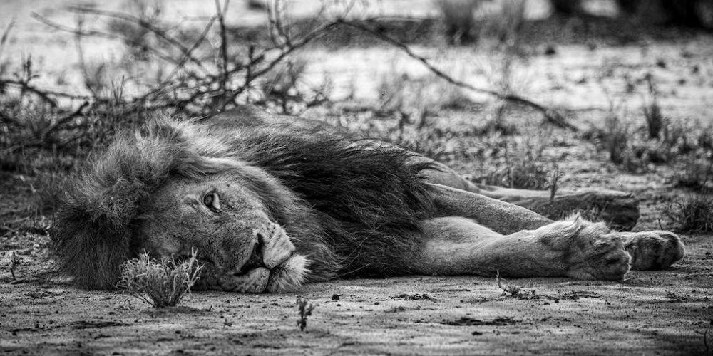 Zwart en wit foto van een leeuw in Zuid-Afrika