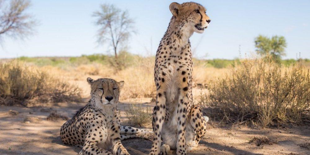 Cheeta's in de schaduw