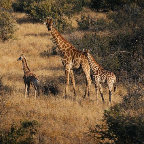 Giraffen in het Zannier Reservaat in Namibie