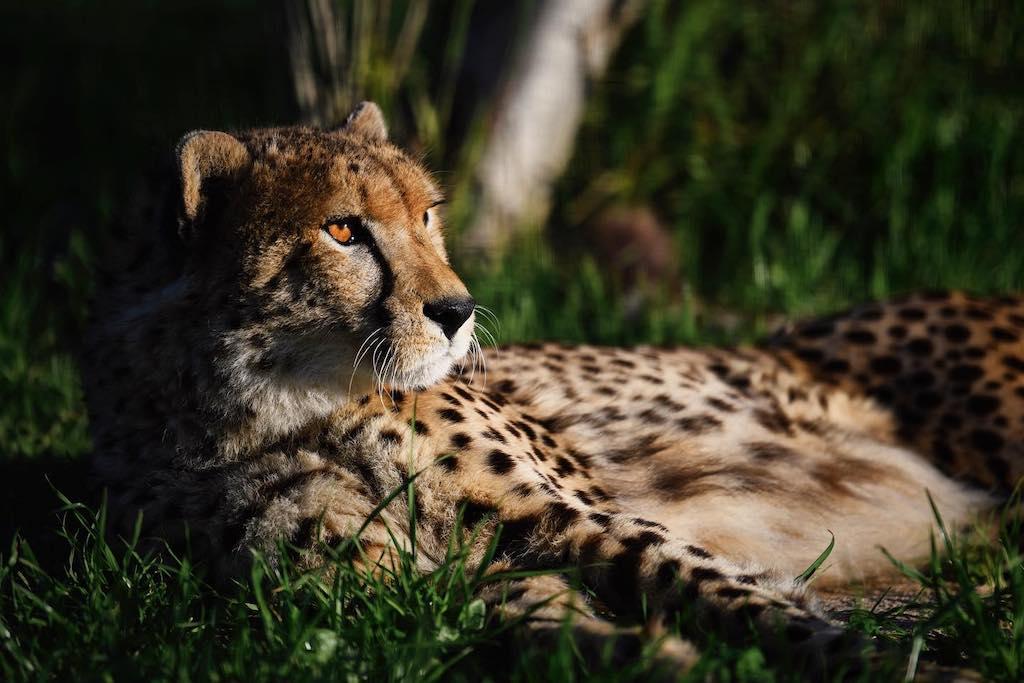 Opvang voor cheetahs in Zuid-Afrika
