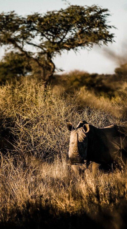 Spot de neushoorn in Namibie