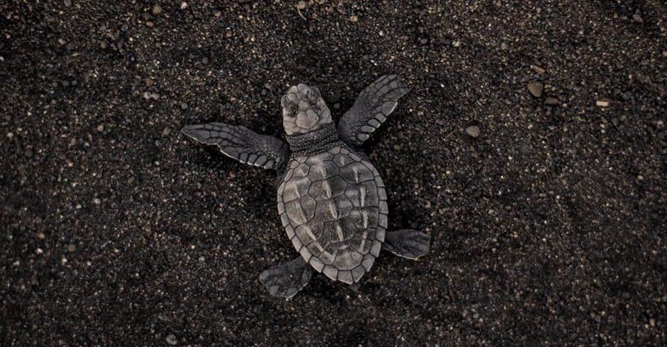 Het vrijlaten van de baby schildpadden op Bali als vrijwilligerswerk